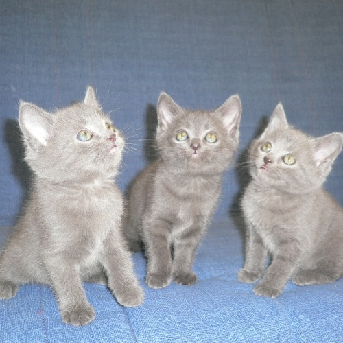Trois Chatons Chartreux Loof Uncompagnon Fr
